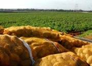 Un programme pour réduire l'importation de semences de pomme de terre